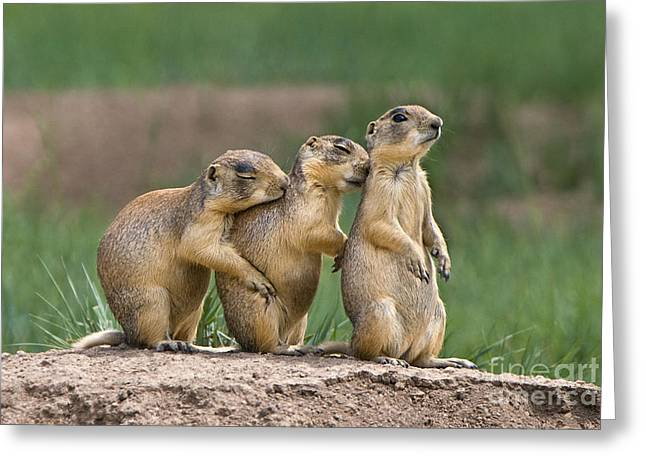 Greeting Card featuring the photograph Relaxing Utah Prairie Dogs Cynomys Parvidens Wild Utah by Dave Welling