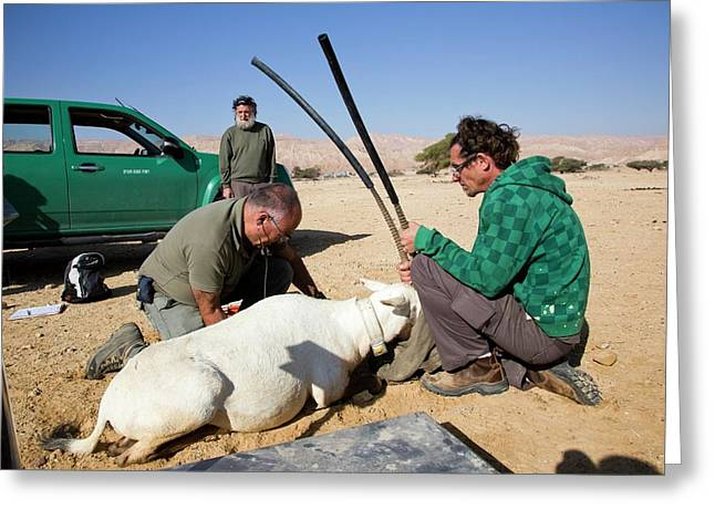 Releasing An Oryx Greeting Card by Photostock-israel