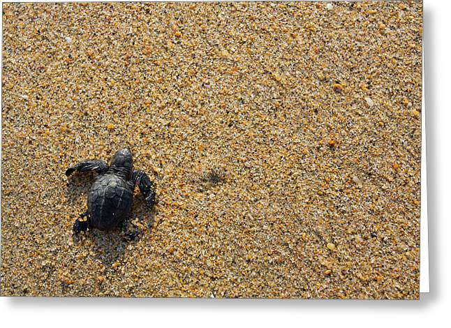Releasing Green Sea Turtle, Hotelito Greeting Card