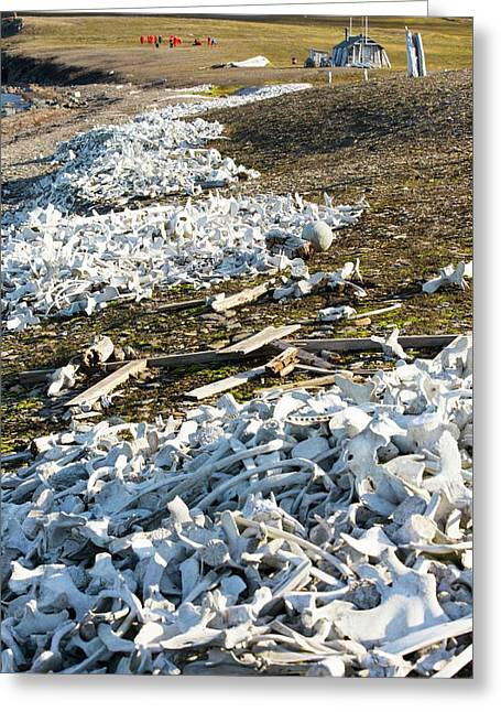 Remains Of Beluga Whales Greeting Card by Ashley Cooper