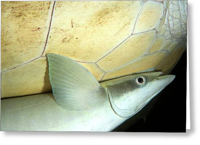 Remora Attached To Turtle Greeting Card