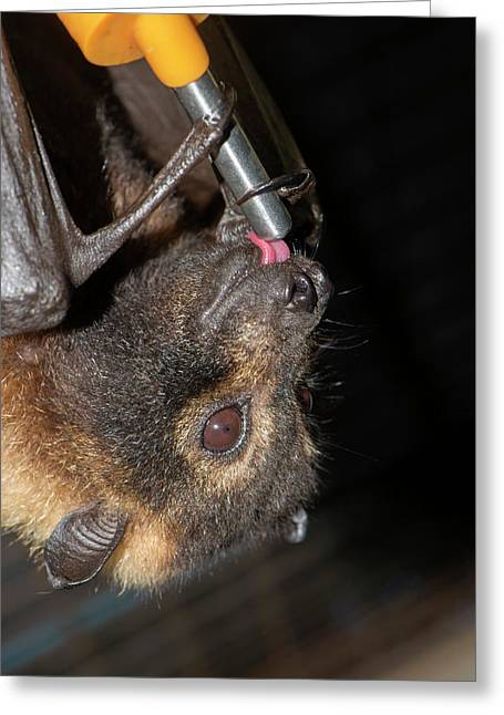 Rescued Spectacled Fruit Bat Greeting Card by Louise Murray
