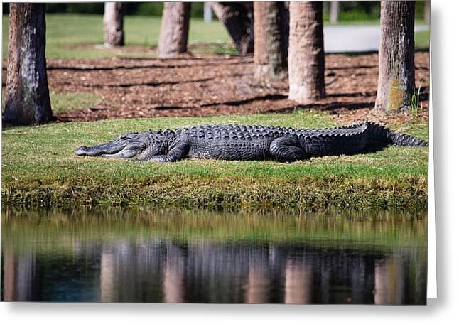 Resident Alligator At Osprey Point Greeting Card