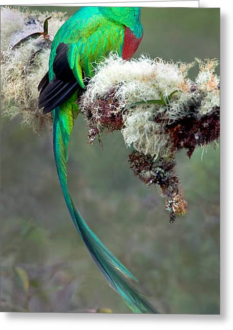 Resplendent Quetzal Pharomachrus Greeting Card by Panoramic Images