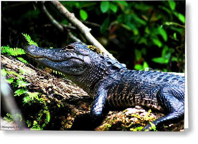 Resting Alligator  Greeting Card