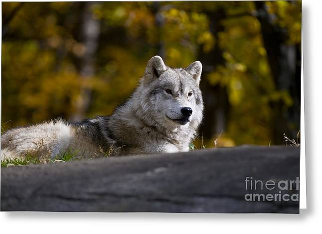 Greeting Card featuring the photograph Resting Arctic Wolf On Rocks by Wolves Only