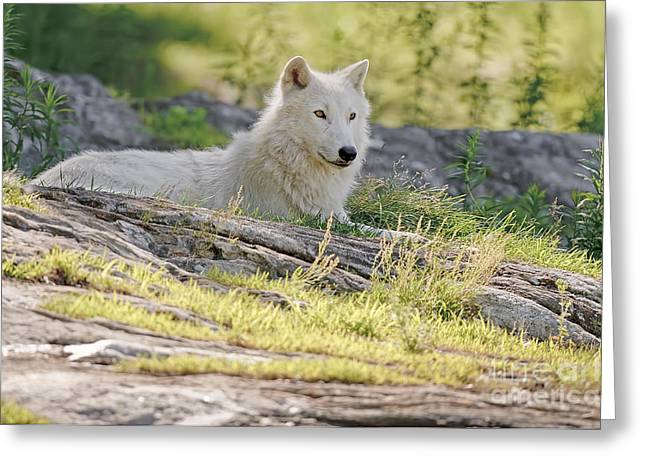 Greeting Card featuring the photograph Resting Arctic Wolf by Wolves Only