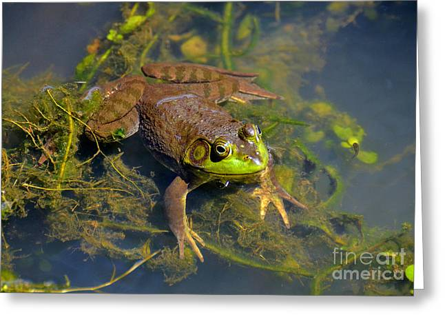 Greeting Card featuring the photograph Resting Bronze Frog by Kathy Baccari
