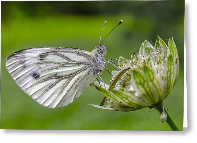 Resting Butterfly Greeting Card by Adam Budziarek