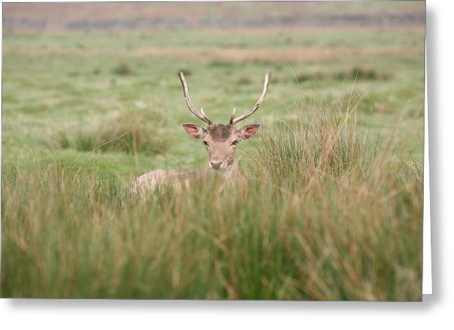 Resting Deer Greeting Card by Mark Severn