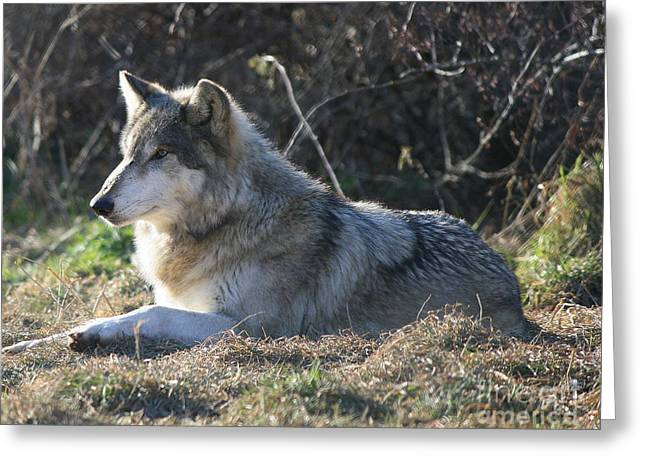 Resting Gray Wolf Greeting Card