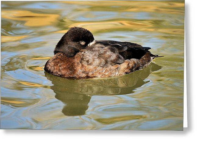 Resting Hen Scaup Greeting Card by James Lewis