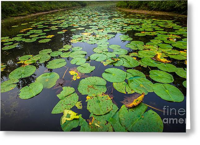 Resting Lilly Pads Greeting Card