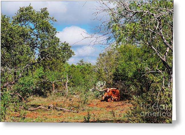 Resting Longhorn Bull - San Marcos Texas Hill Country Greeting Card by Silvio Ligutti
