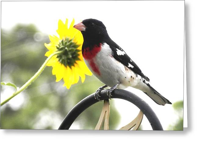 Resting Rose Breasted Grosbeak Greeting Card
