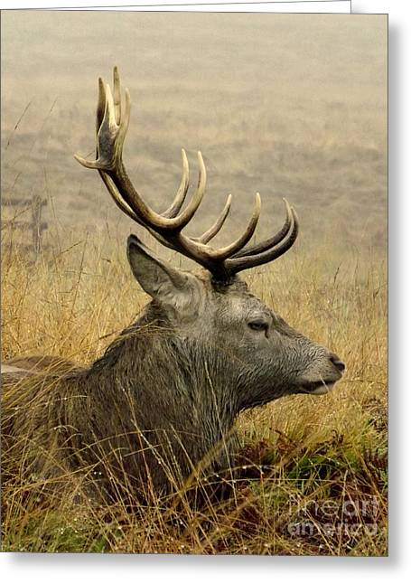 Resting Stag Greeting Card by Linsey Williams