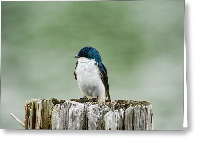 Resting Swallow Greeting Card