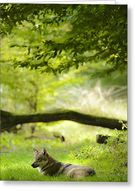 Resting Wolfe Greeting Card by Andy-Kim Moeller