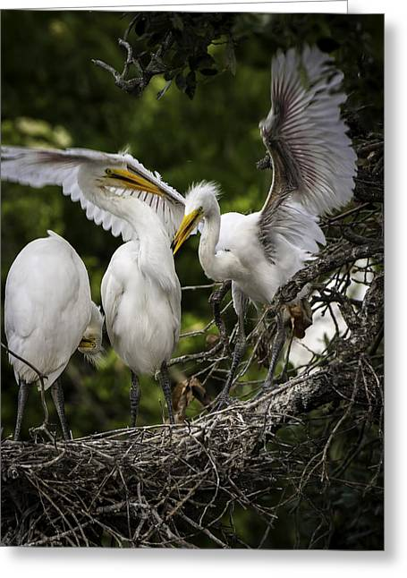 Restless Teenage Egrets Greeting Card