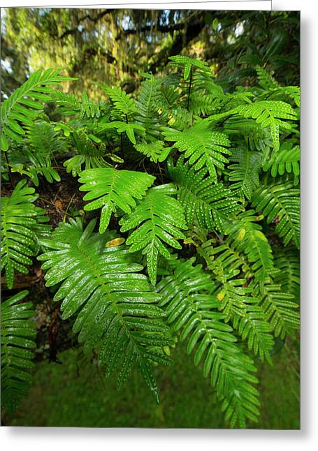Resurrection Fern, Pleopeltis Greeting Card by Maresa Pryor