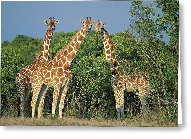 Reticulated Giraffe Greeting Card by Kevin Schafer