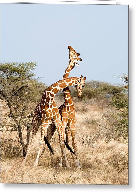 Reticulated Giraffes Giraffa Greeting Card