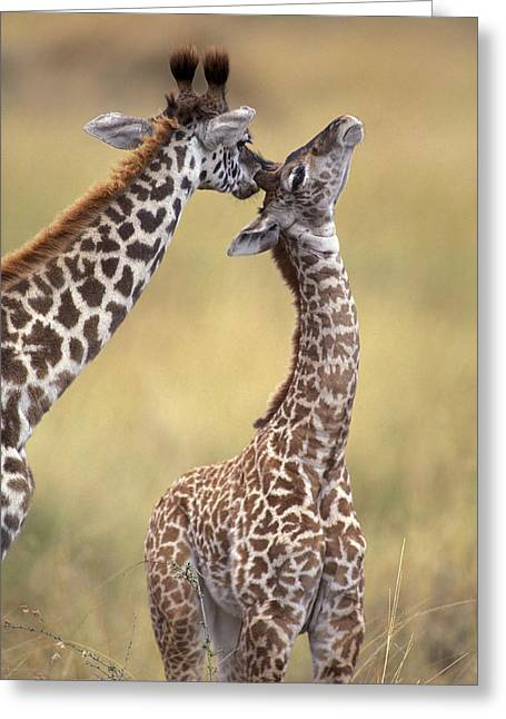 Reticulated Giraffes Grooming Greeting Card by Jean-Michel Labat