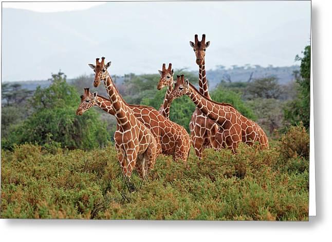 Reticulated Giraffes, Samburu National Greeting Card