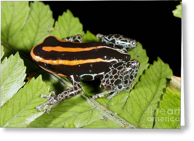 Reticulated Poison Frog Greeting Card by Dr Morley Read