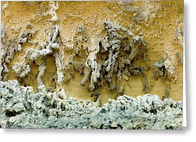Rhizoliths In A Sandstone Cliff Greeting Card by Dr Jeremy Burgess