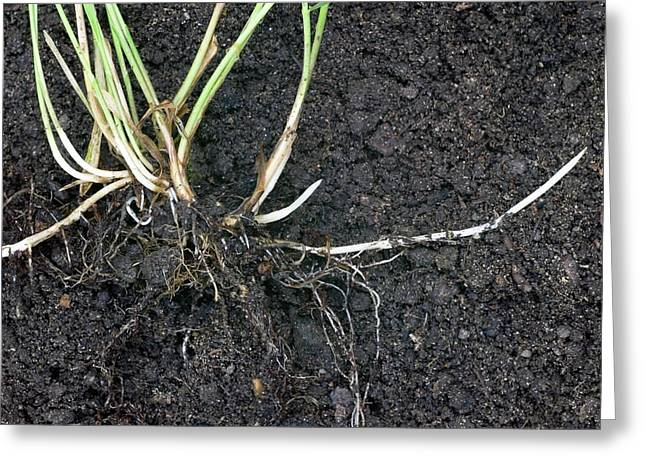 Rhizomes Of Couch Grass (elymus Repens) Greeting Card