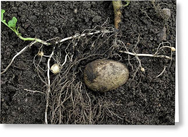 Rhizomes Of The Potato Plant Greeting Card