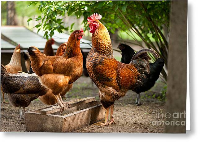 Rhode Island Red Chickens And Wooden Feeder  Greeting Card by Arletta Cwalina