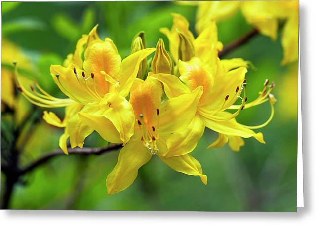 Rhodendron Luteum Flowers Greeting Card