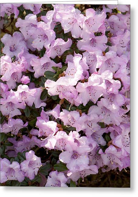 Rhodendron Permakoense Flowers Greeting Card