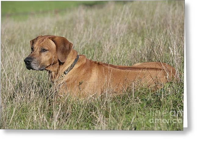 Rhodesian Ridgeback Dog Greeting Card