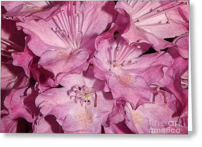 Rhododendron Bliss Greeting Card by Sara  Raber