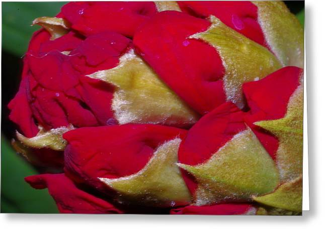 Rhododendron Bud Greeting Card