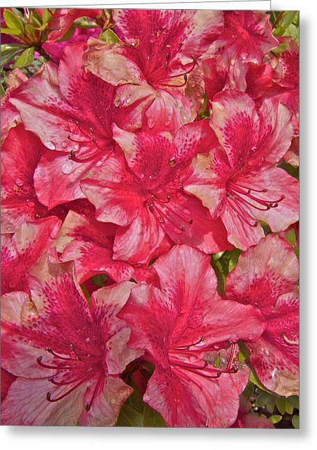 Greeting Card featuring the photograph Rhododendron Closeup by Todd Kreuter