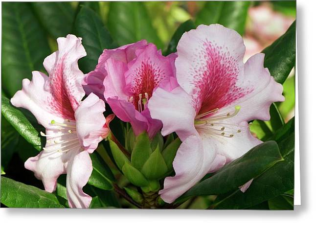 Rhododendron 'diadem' Greeting Card by Adrian Thomas
