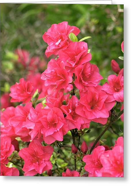 Rhododendron Flowers Greeting Card