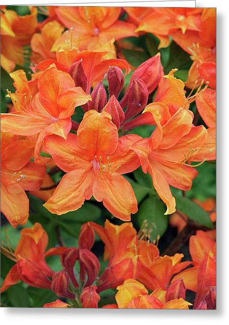 Rhododendron 'golden Eagle' Greeting Card