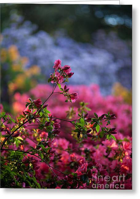 Rhododendron Pink Dream Greeting Card by Mike Reid