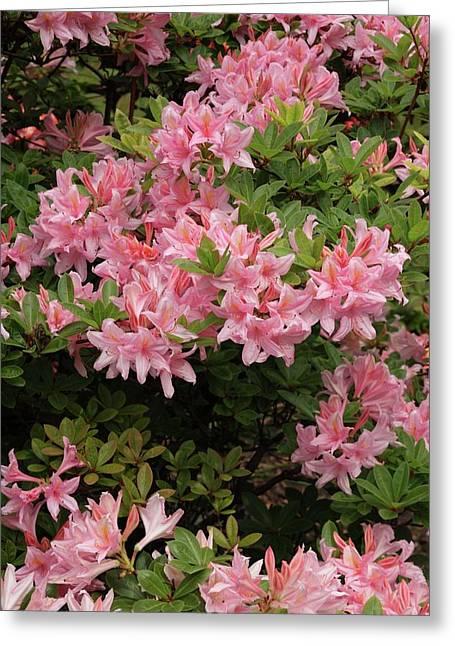 Rhododendron 'soir De Paris' Greeting Card by Geoff Kidd