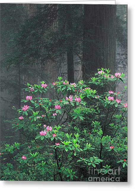 Rhododendrons And Redwoods Greeting Card by Ron Sanford