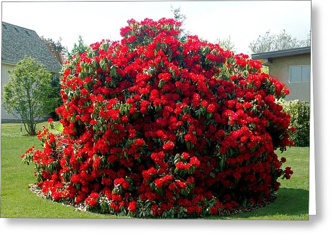 Rhododendrun  Greeting Card by George Cousins