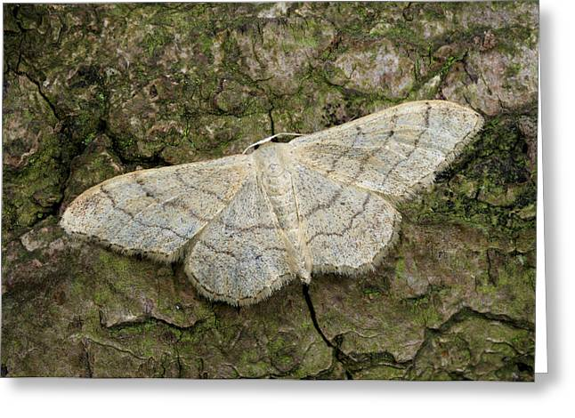 Riband Wave Moth Greeting Card by Nigel Downer