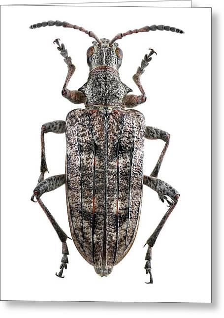 Ribbed Pine Borer Beetle Greeting Card