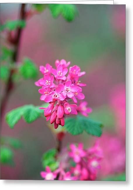 Ribes Sanuineum 'pulborough Scarlet' Greeting Card
