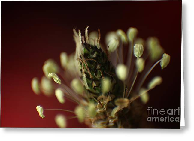 Greeting Card featuring the photograph Ribwort Plantain  by Eden Baed